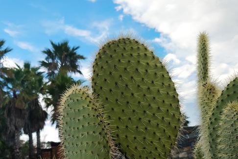 Cactus Galea